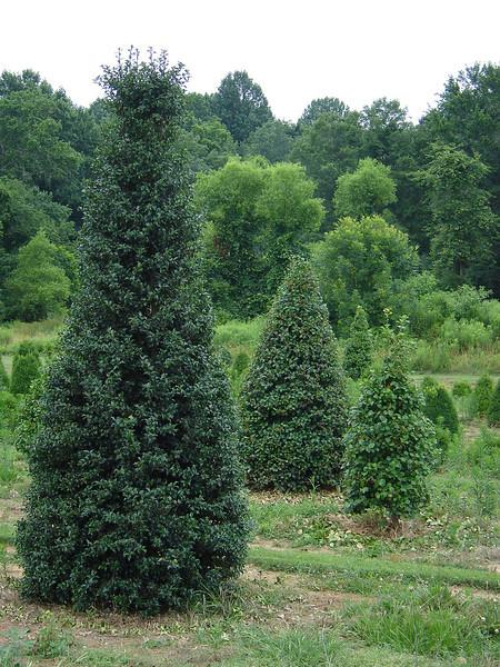 Ilex x aquipernyi 'Dragon Lady'  Pyramidal, dark green-blue holly with large red berries.  15-20' mature height, 4-6' width.