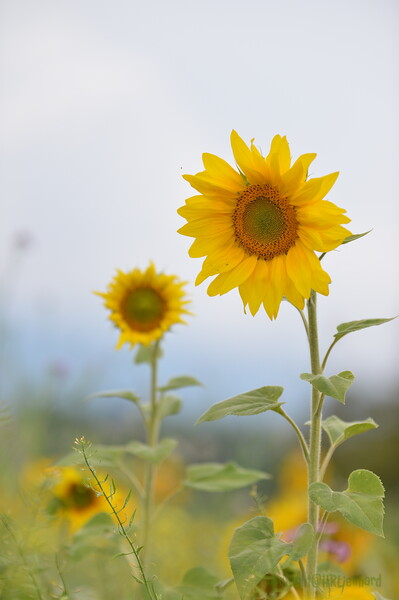 Sunflower Lonay_20092020 (57).JPG
