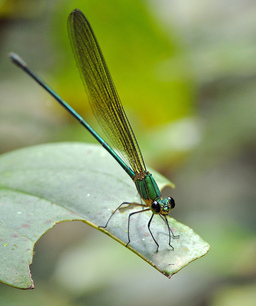 Clear-winged-Forest-Glory-Damselfly.jpg