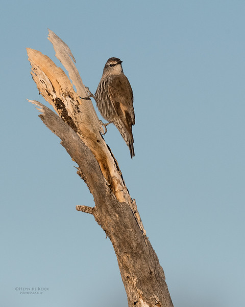 White-browed Treecreeper, Bowra, Cunnamulla, QLD, Aus, Sept 2017-3.jpg