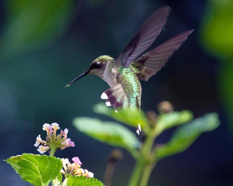 hummingbirddivesintolantana2.jpg