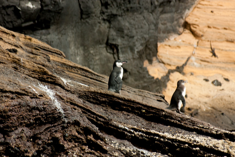 Galapagos Penguins on Watch : Journey into Genovesa Island in the Galapagos Archipelago