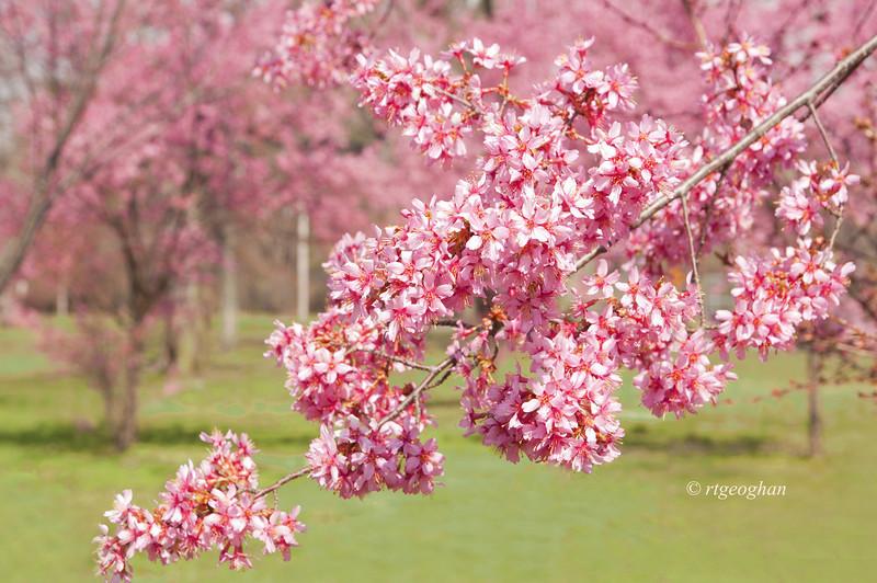 Ajpril 10_BranchBrookCherry Blossoms_7521.jpg