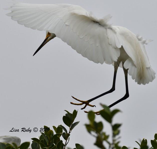 Snowy Egret landing in nest tree  - 6/24/2019 - Imperial Beach Sports Park