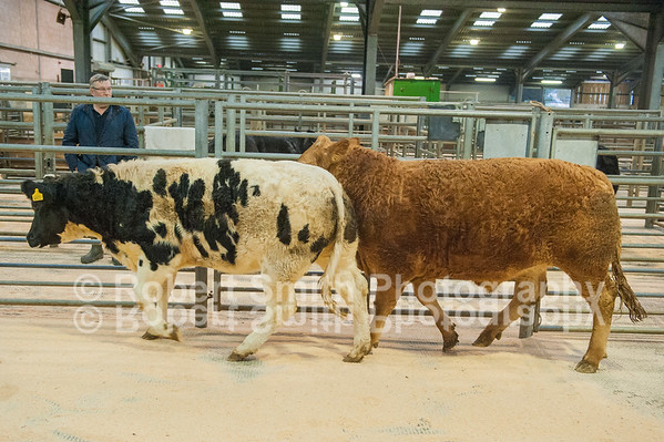 """Hexham Mart """"Tow Law"""" prize show and sale of suckled calves - 29/10/15"""