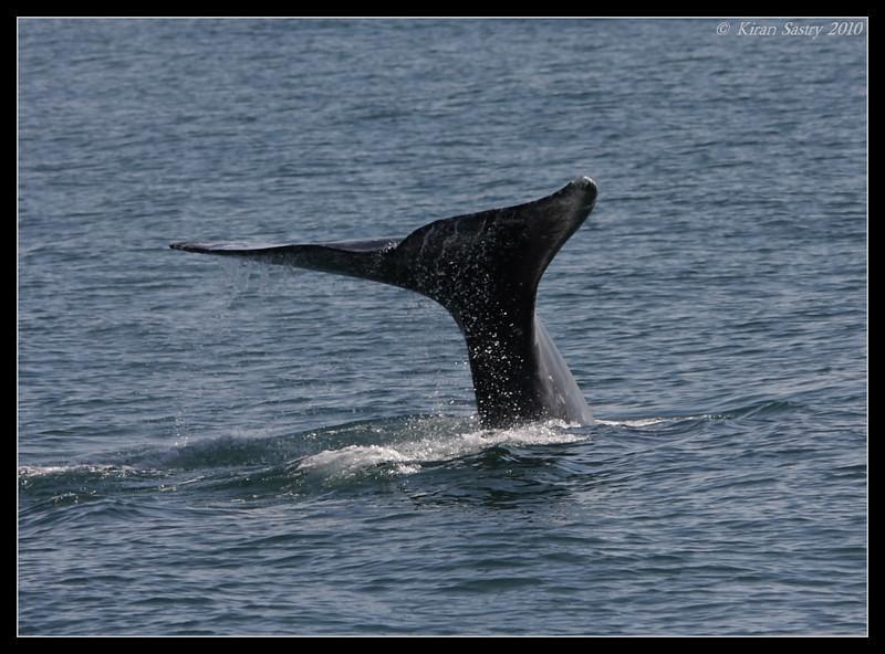 Gray Whale, Oceanside Pelagic Trip, San Diego County, California, January 2010