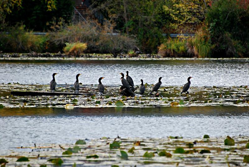 Double Crested Cormorants Seattle, WA