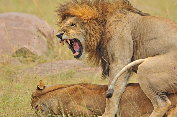 """""""Mating lions"""""""