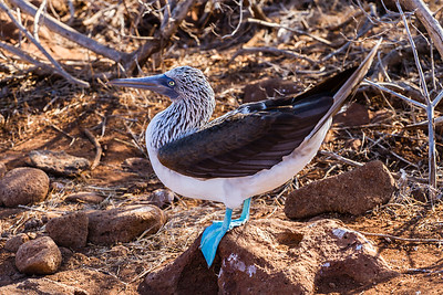 South America Galapagos,Animals