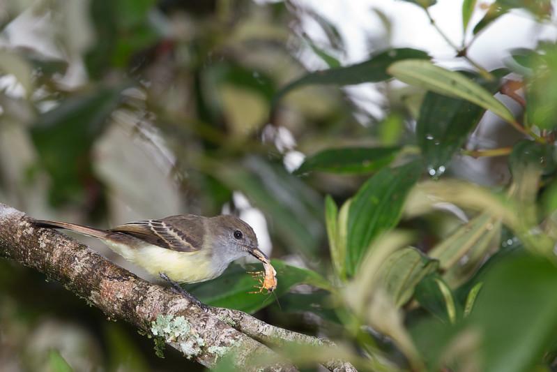 Pale-edged Flycatcher - San Isidro Lodge, Ecuador