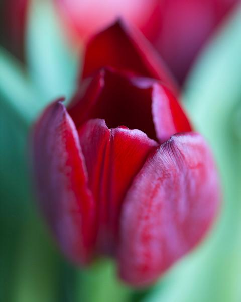 red-tulip-01.jpg