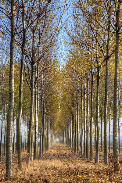 Poplars - Sant'Agata Bolognese, Bologna, Italy - November 18, 2011