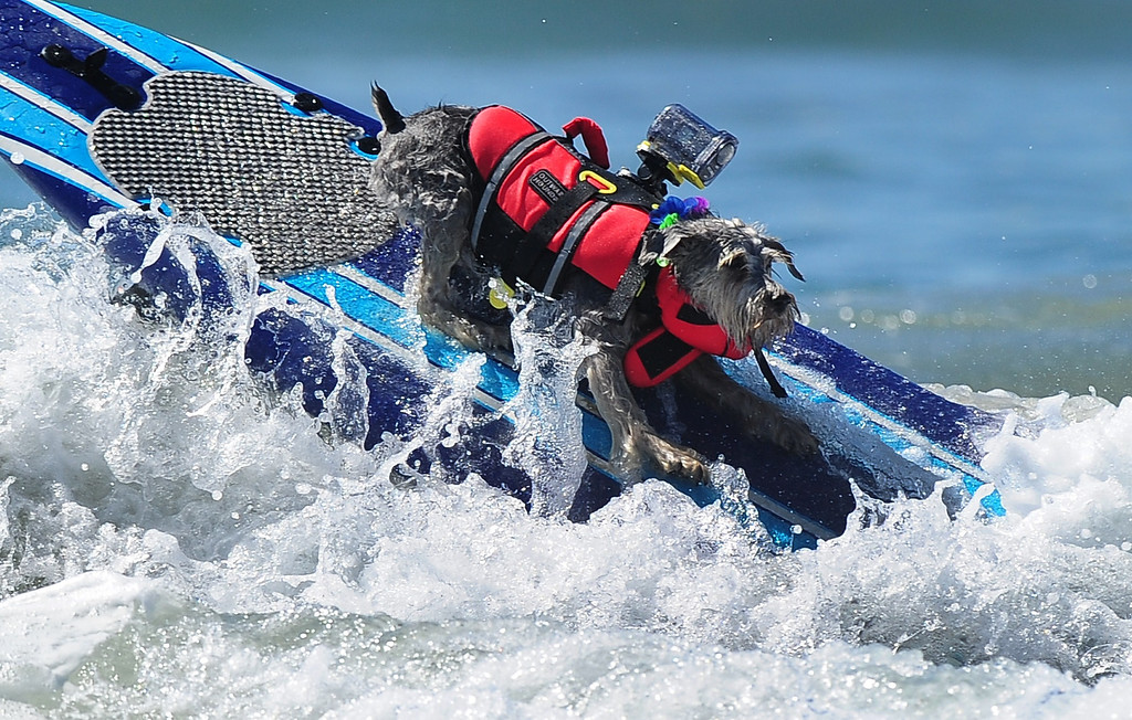 . A dog rides a wave while competing during the 5th Annual Surf Dog competition at Huntington Beach, California, on September 29, 2013.  AFP PHOTO/Frederic J. BROWN/AFP/Getty Images