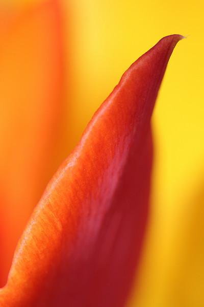 Tulip Macros 07.JPG