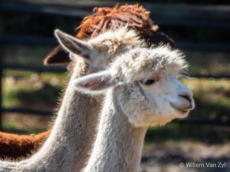 20200321 Alpacas (Vicugna pacos) from Noordhoek, Western Cape
