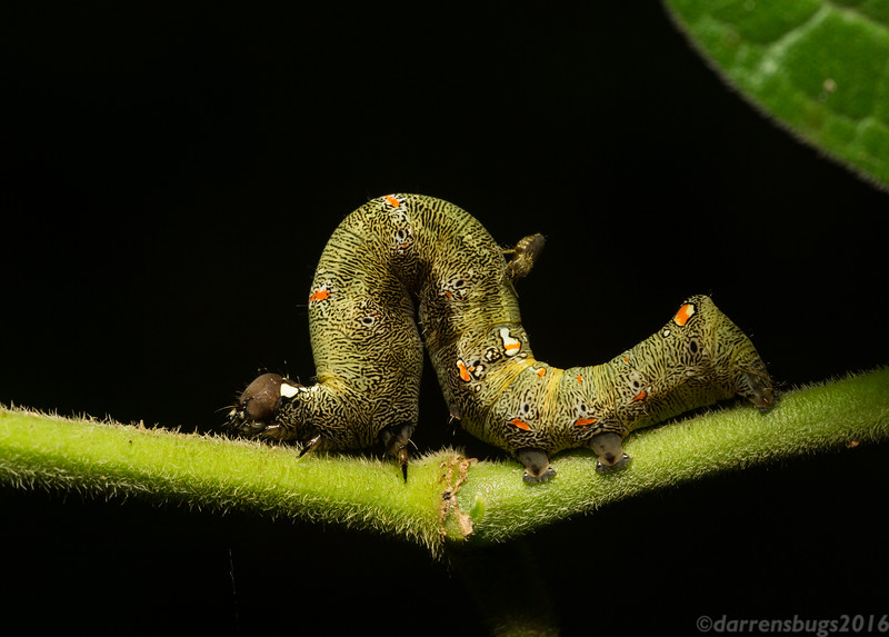 Erebid moth caterpillar (family Erebidae) being attacked by a biting midge (family Ceratopogonidae) in Belize.