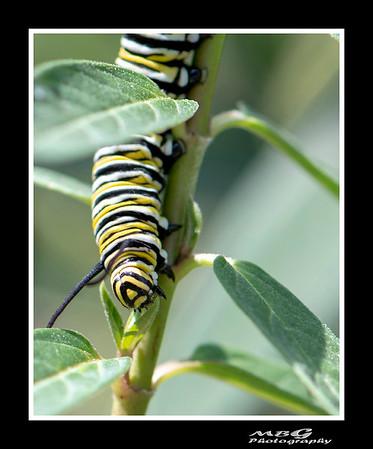 Backyard Monarchs