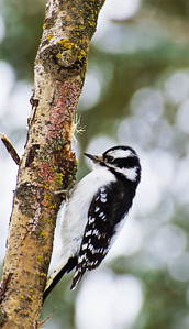 Female Downy Woodpecker  Taken January 2, 2011 Elk Island Retreat Near Fort Saskatchewan, Alberta