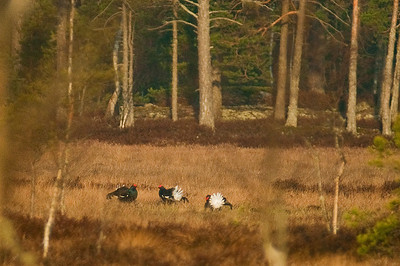 Teeri - Black Grouse
