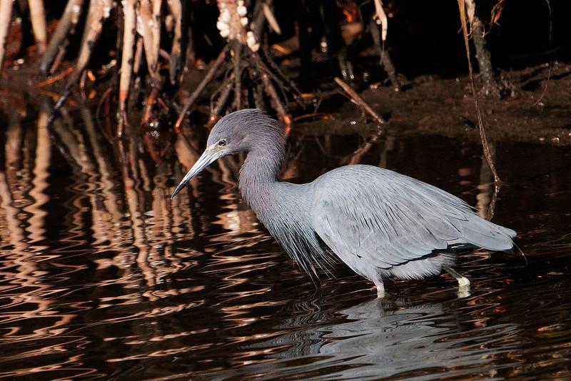 Heron - Little Blue - Ding Darling NWR - Sanibel Island, FL
