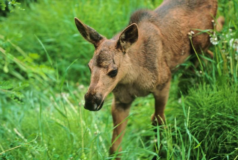 Moose calf A-Anchorage Alaska-033 scan-037.jpg
