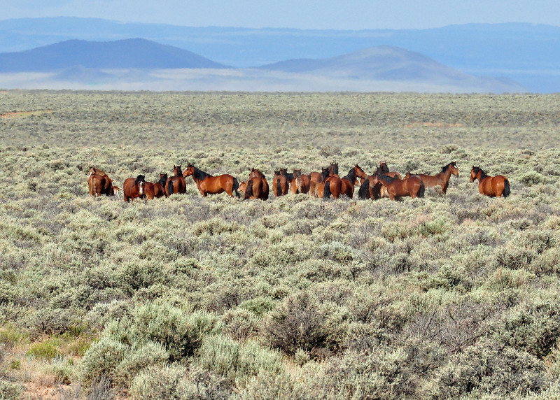 After staying a night in Taos, I headed north to Denver.  This is a group of wild horses outside of Arroyo Hondo on highway 522.
