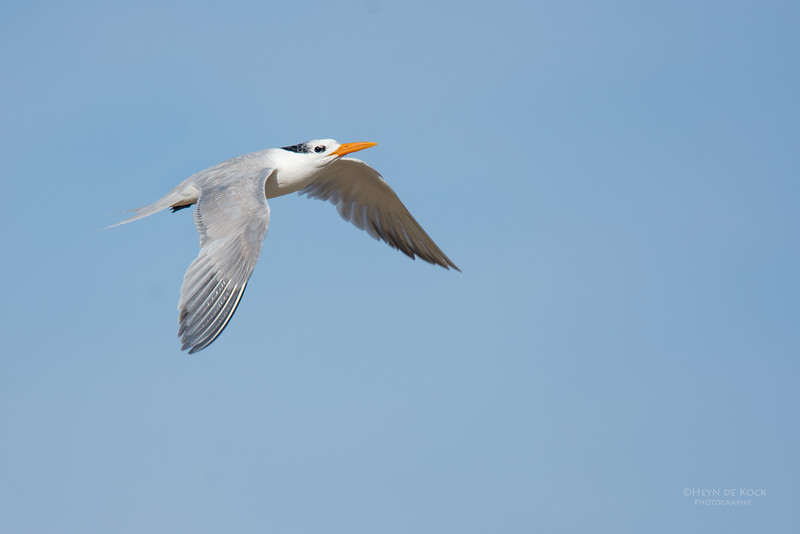 Lesser Crested Tern, Lady Elliot Island, QLD, Dec 2015-3.jpg