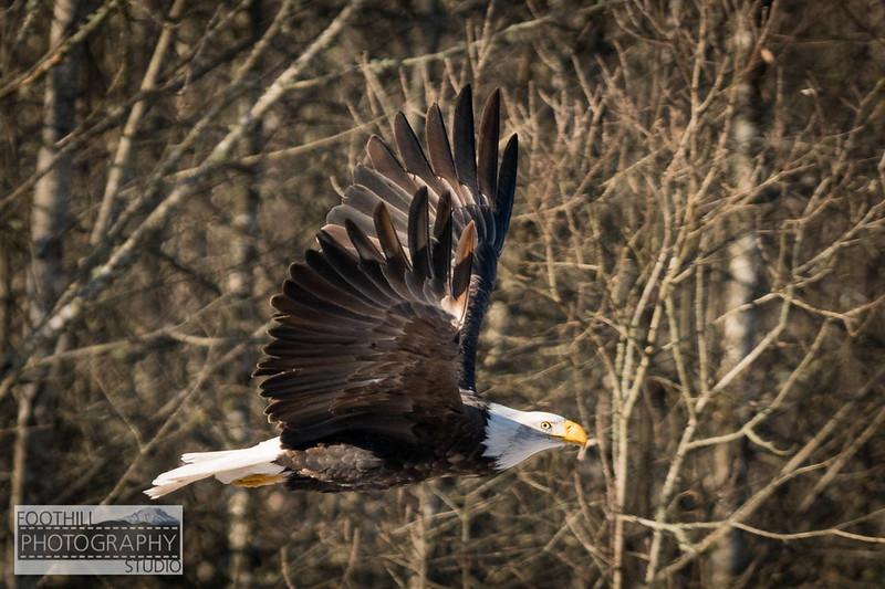 Eagle Sml-3.jpg