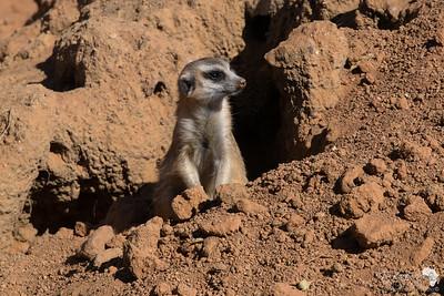 Meerkat emerging from his den