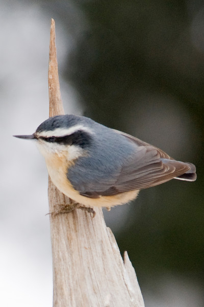 Nuthatch - Red-breasted - female - Dunning Lake, MN - 04