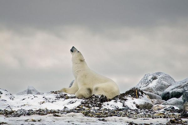 Polar bears of Seal River, Gallery 4