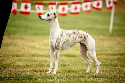 Whippet National Show - July 2015