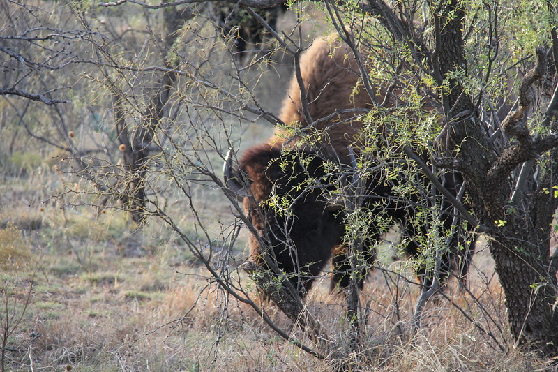 20171120-021 - Texas - Caprock Canyons SP - Buffalo.JPG
