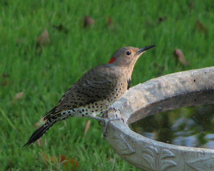 flicker_woodpecker_9655.jpg