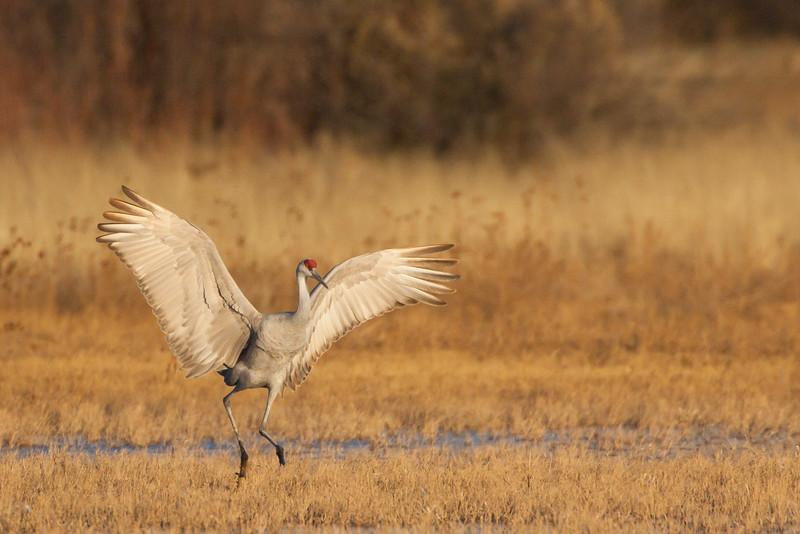 Sandhill Crane - Bosque-del-Apache, NM, USA