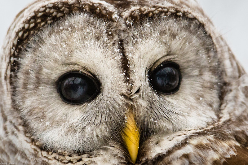 Barred Owl and Snow