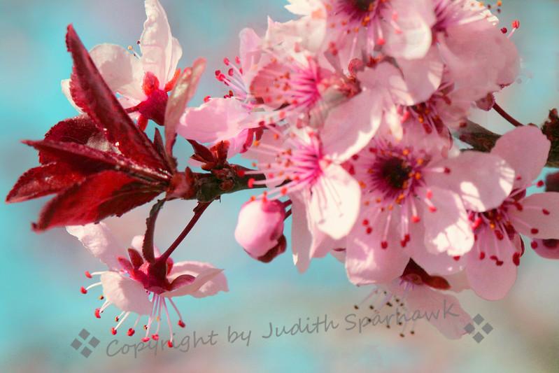 Blossoming Plum.jpg
