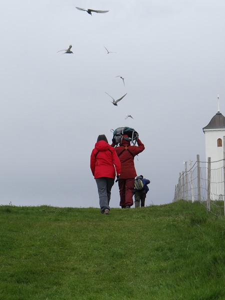 Territorial Arctic Terns