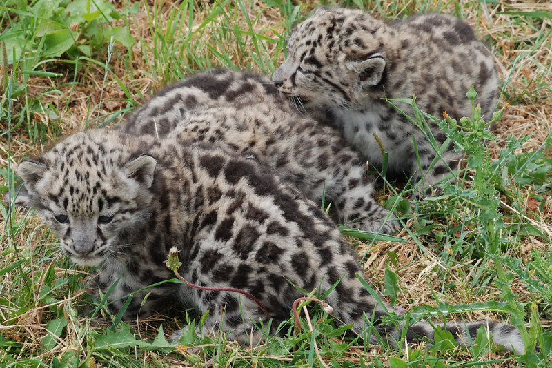 The three cubs playing, already they are practicing their pouncing moves on each other, these will be essential skills for their survival and are naturally learnt from an early age.