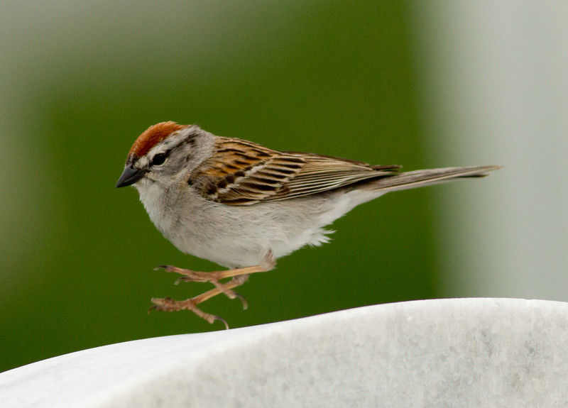Chipping Sparrow   Fort Rosecrans 2014 05 05-4.CR2