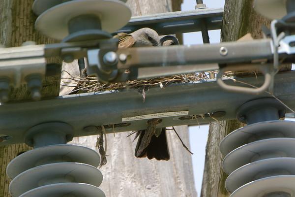 2021-06-19 Bridgeton Western Kingbirds