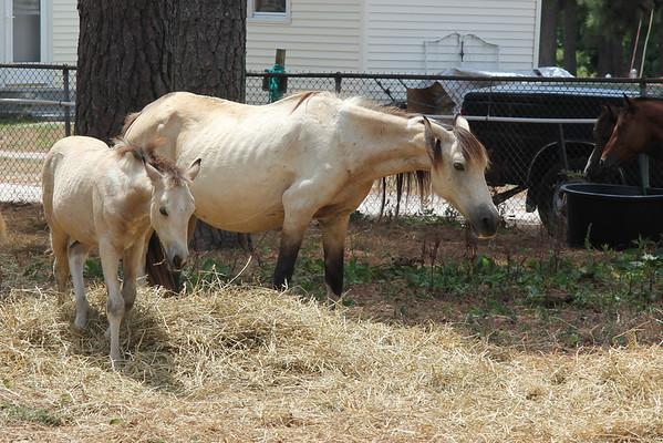 Chincoteague Horses 2010