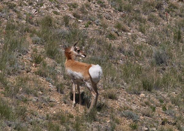 Pronghorn (Antilocapra americana).