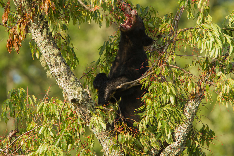 black bear eating cherries