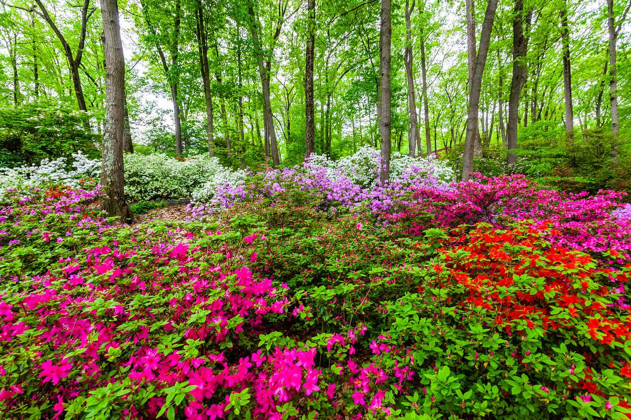 滨州詹金斯植物园(Jenkins Arboretum),满眼杜鹃花