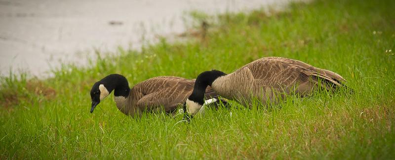 Geese Toledo Bend.jpg