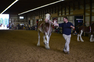 586 Grand Champion Clydesdale Mare