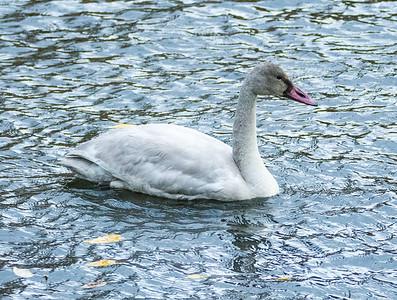 Immature Tundra Swan at Mill Creek (?) 11-17-15
