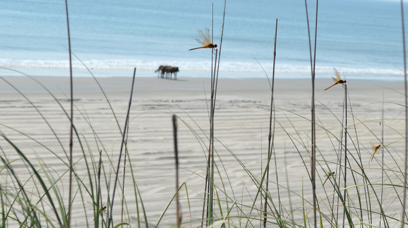 dragonflies-wild-horses-outerbanks2.jpg