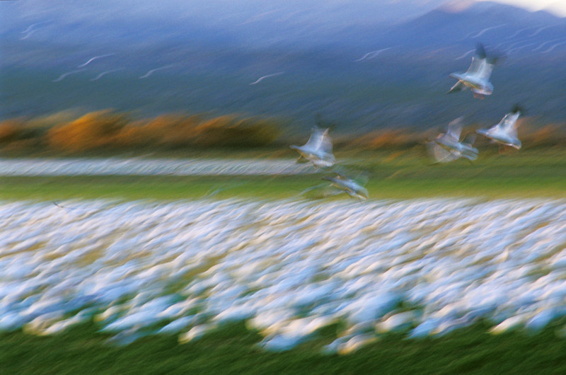 Snow Geese Arriving